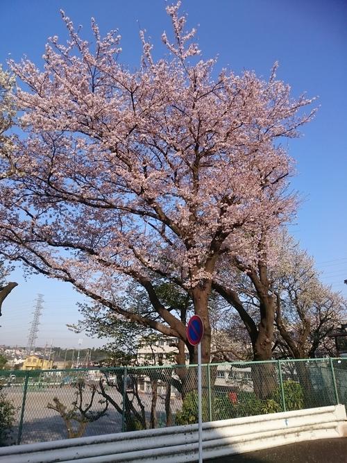 不動丸小学校の桜−3 20180331.JPG