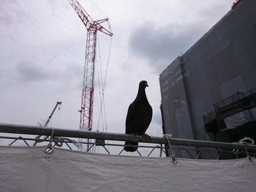 二俣川駅南口再開発のハト.JPG
