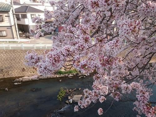 帷子川沿いの桜−1 20180331.JPG