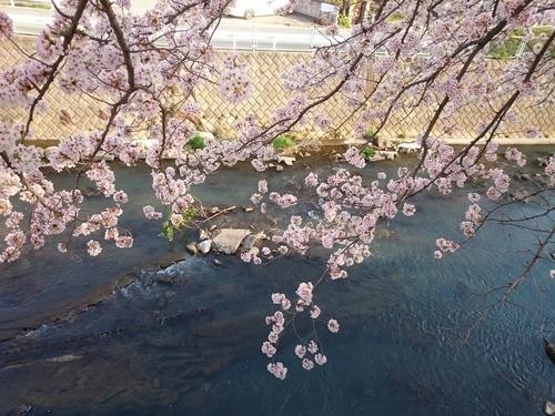 帷子川沿いの桜−2 20180331.JPG