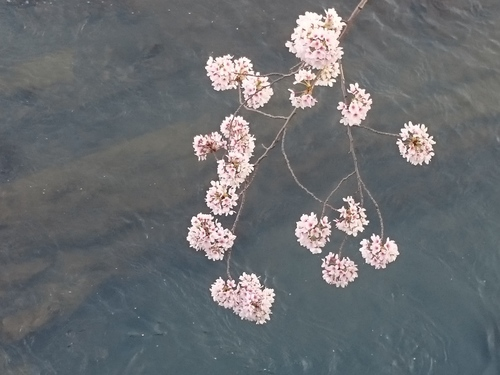帷子川沿いの桜−3 20180331.JPG