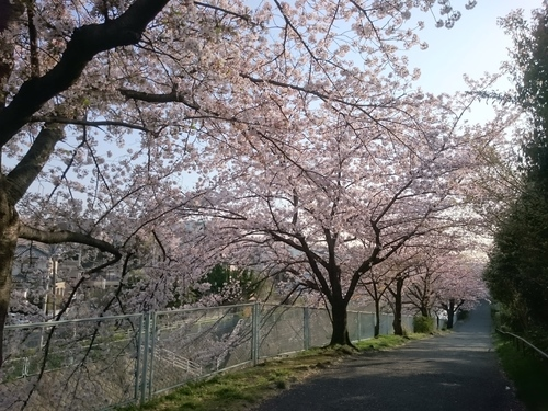 帷子川沿いの桜−4 20180331.JPG