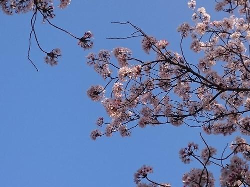 帷子川沿いの桜−5 20180331.JPG